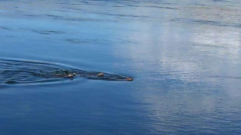 Video - Otters fishing
