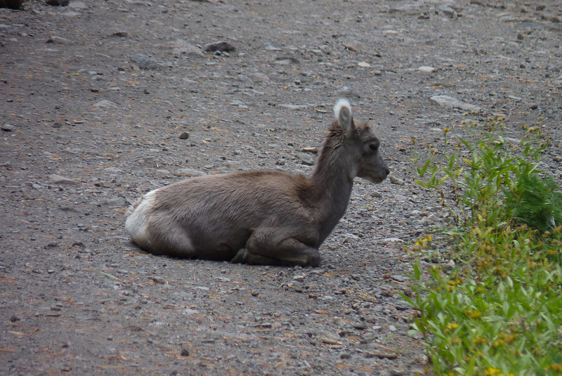 Impossibly cute!  Look at those fuzzy ears and tiny budding horns!