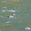 On our drive to the Canyon area we make another stop at LeHardy Rapids to eat our lunch.  We find a Harlequin Duck...