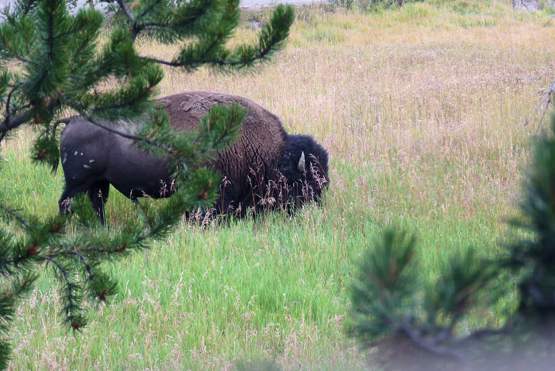 Back at our cozy cabin at Canyon Village, we find a bison grazing just outside our back door.