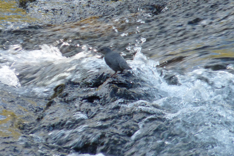 The ferocity of the water seems almost overwhleming, but this guy is unfazed.  The American Dipper is one of Patti's favorite birds -- she loves the improbability of a small songbird foraging in these conditions.