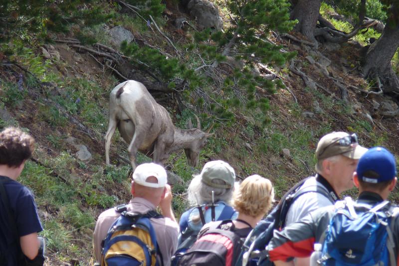 A Bighorn Sheep jam on the trail!