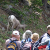 A Bighorn Sheep jam on the trail!