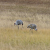 After lunch we head toward the most thermal section of the park, and we spot a pair of Sandhill Cranes along the way.