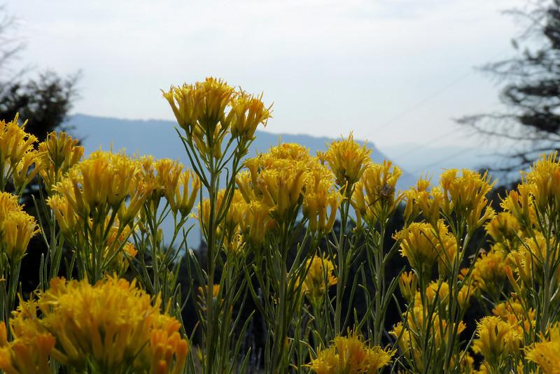 The path is full of Rabbitbrush in peak flower.