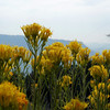 The path is full of Rabbitbrush in peak flower.