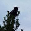 Common Raven at Oxbow Bend