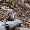 This chipmunk tries to stuff one more nut into his cheek pouches.  In Yellowstone, winter is just around the corner.