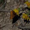 Heartleaf Arnica & fritillary butterfly
