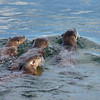 Lots of cars parked...what can it be?  Otter Jam!  Mom was leading her three pups in a fishing lesson...