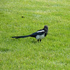 Our trail ends at Mammoth Hot Springs, where we see a Black-billed Magpie hanging out in the lawn.