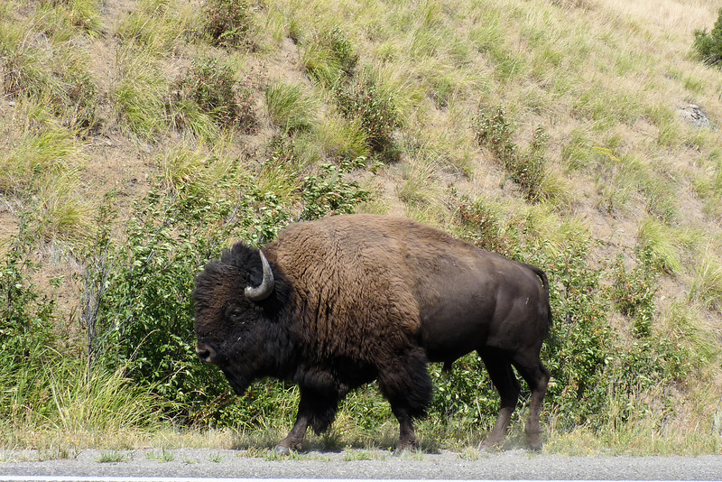 We take a scenic drive through the Blacktail Plateau and toward the Lamar Valley, where we see lots of bison and waterfowl.