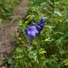 Monkshood (Aconitum columbianum)