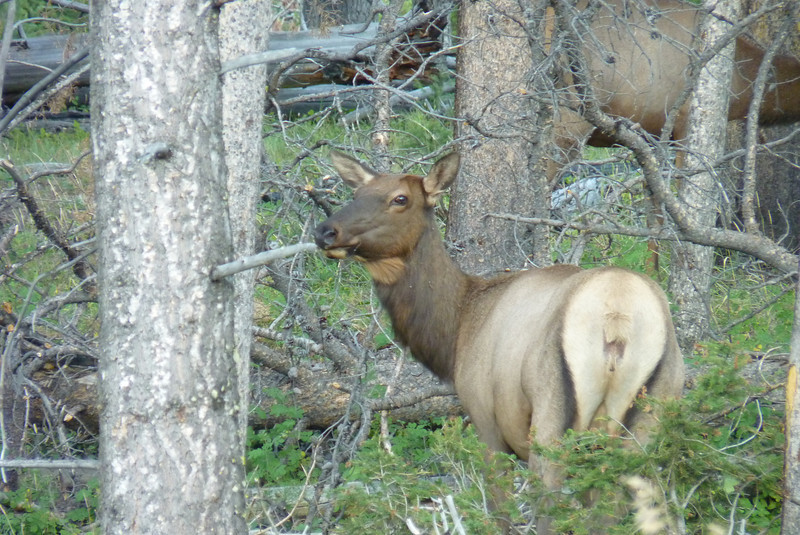 After dinner at Mammoth, we drive south to try and spot some moose, but we find only elk.