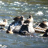 Video - Harlequin Ducks