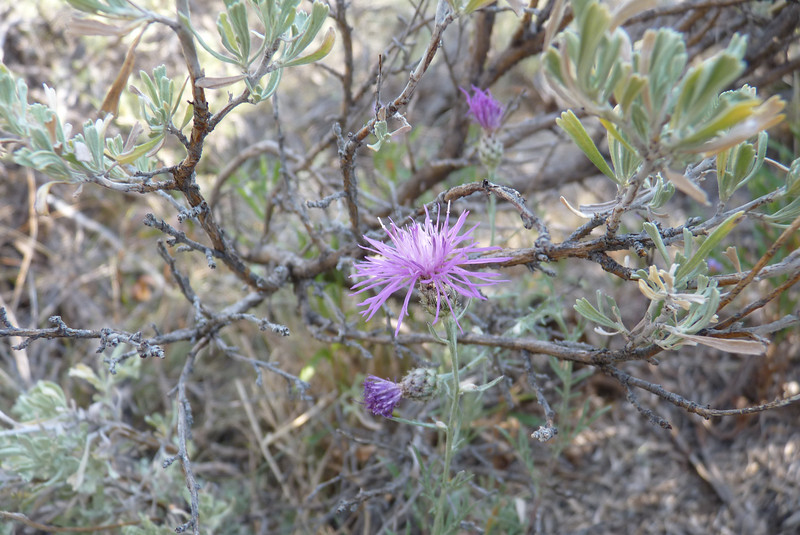 Spotted Knapweed - we didn't know it was an invasive non-native when we took its picture, but we think it's pretty anyway.