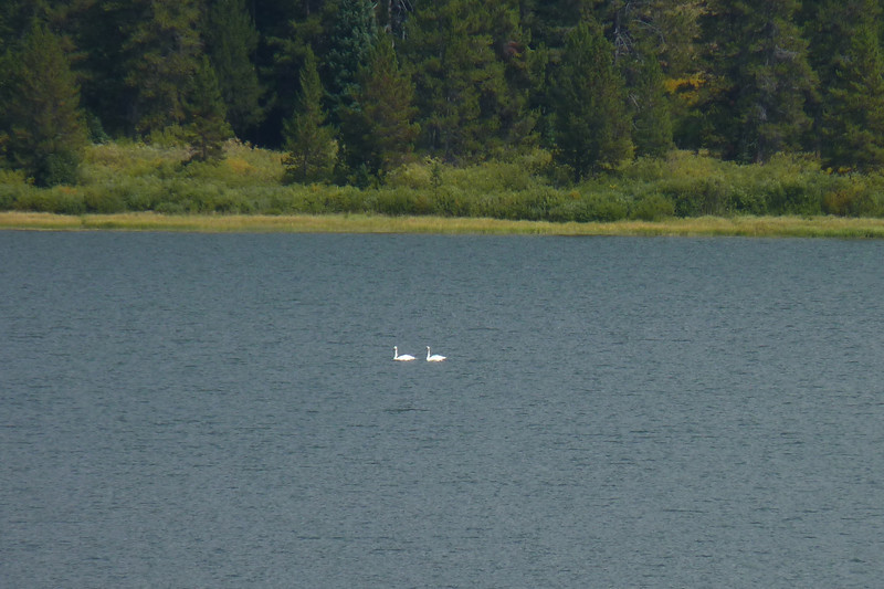 Trumpeter Swans who nest on Two Ocean Lake
