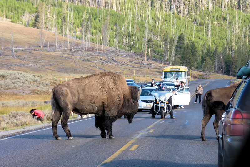 Let's all do the Bison Jam!  An NPS truck eventually got the animals to move off the road.