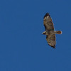 Patti manages to capture a great picture of this Red-Tailed Hawk in flight!