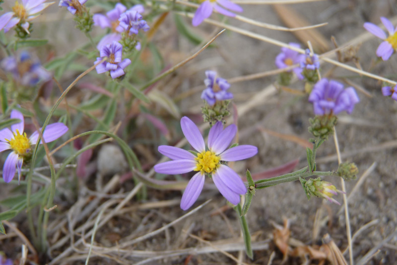 It's only Labor Day weekend in Yellowstone, but the fall Asters are blooming profusely.