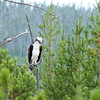 We see lots of Osprey at the Upper Geyser Basin, where the Firehole River provides good fishing opportunities.