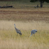 Sandhill Cranes, rustling up some grub (probably literally)