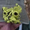 Jeane's lichen