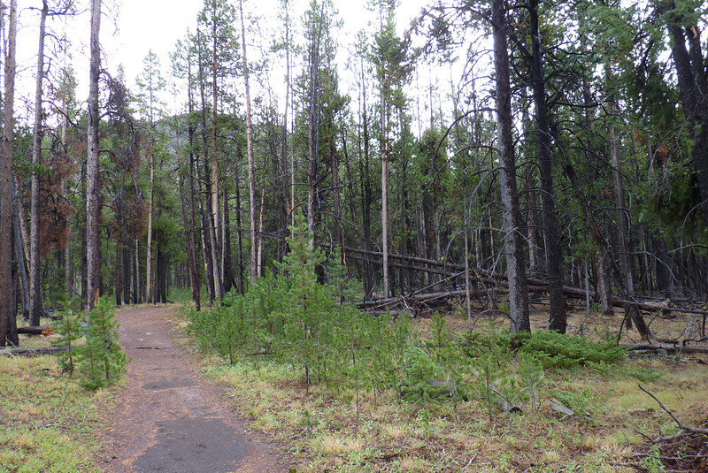 """The area around Bunsen Peak burned badly in 1988; this photo shows a """"mosaic"""" pattern where some unburned trees still stand, and the burned areas begin to recover."""