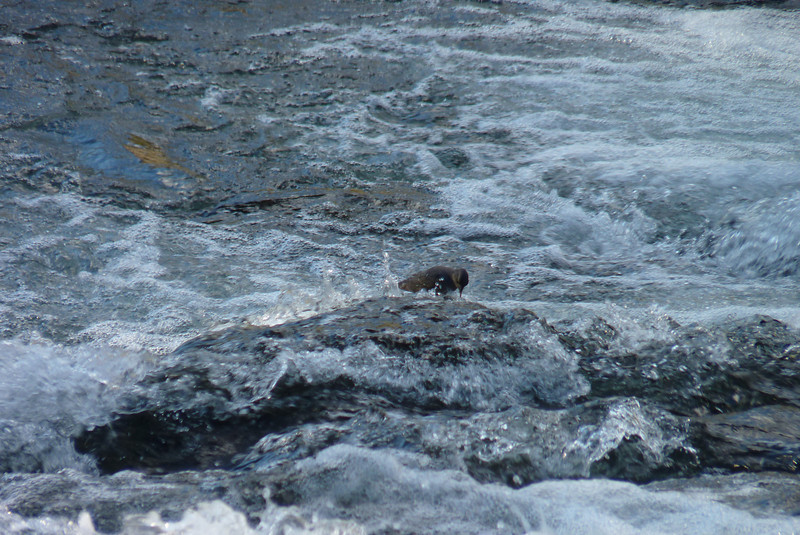 A trip to LeHardy Rapids yields both birds we hoped to find: American Dipper and Harlequin Ducks.  This is the Dipper.