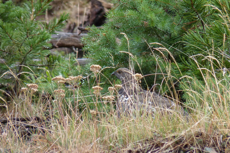 On our climb up Bunsen Peak, we are lucky to spot this Dusky (Blue) Grouse in spite of her camouflage.