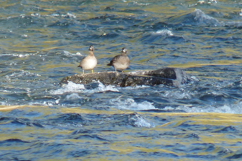 Harlequin Ducks!  A life bird for Patti!  They're in non-breeding plumage, but still quite a find.