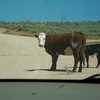 We were delayed on the road by some slow-moving cattle.
