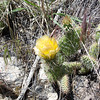 More Prickly Pear