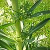 Green Gentian