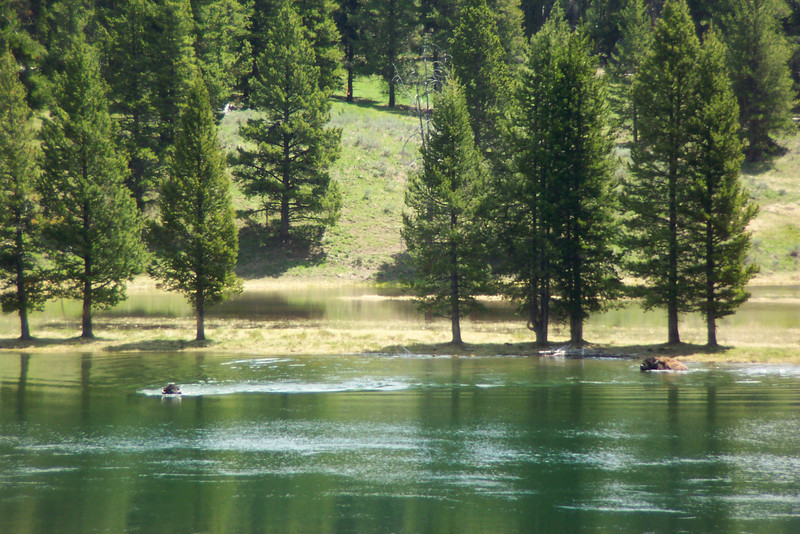 After checking into our hotel, we start on a driving tour of many tourist spots.  We stopped at an overlook on the Yellowstone River to watch several bison swim across.