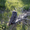On our way back toward the lake, we were stopped by another huge traffic jam; this Great Gray Owl was the culprit.