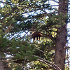 We stopped at an overlook in the Tower area where many people were gawking, and hit a wildlife jackpot.  There is a young Black Bear cub snoozing in this tree.