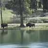 Bison along the Yellowstone River
