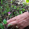 Calypso Orchid aka Fairy Slipper - Calypso bulbosa<br /> It's a very tiny flower, and easy to miss even when you're looking for it.