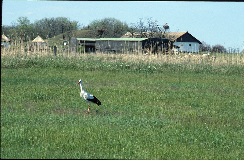 Stork (near Hortobagy National Park)