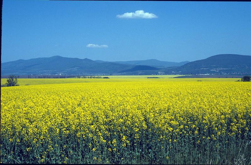 fields of koolzaad