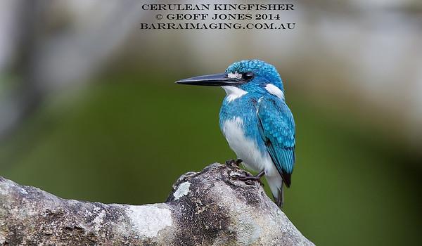 Cerulean Kingfisher