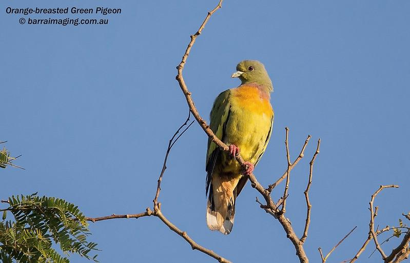Orange-breasted Green Pigeon