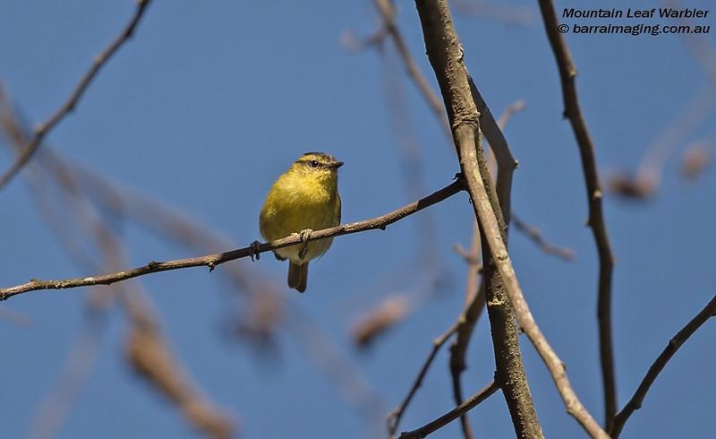 Mountain Leaf Warbler
