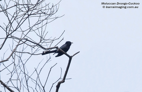 Moluccan Drongo-Cuckoo