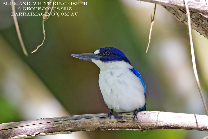 Blue-and-white Kingfisher male