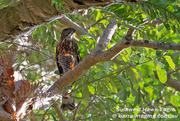 Sulawesi Hawk-Eagle