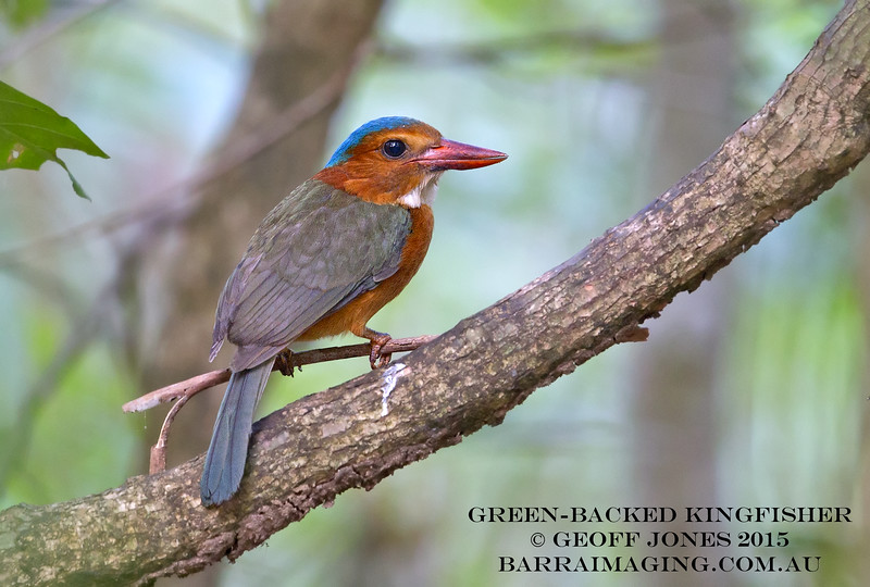 Green-backed Kingfisher female