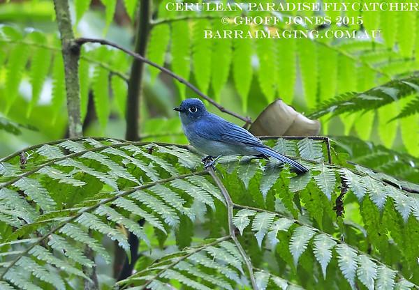 Cerulean Paradise Flycatcher male