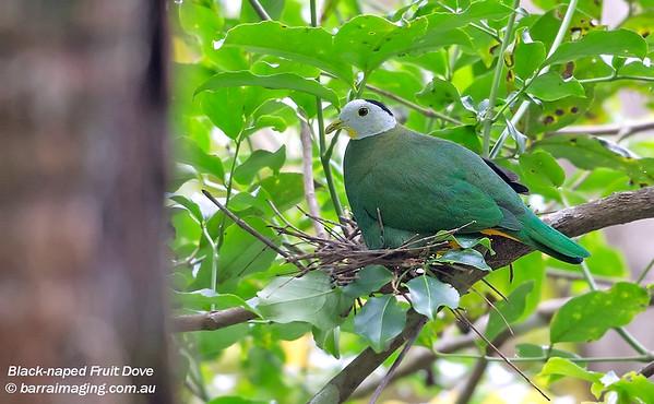 Black-naped Fruit Dove